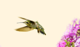 Juvenile male hummingbird. Stock Photography