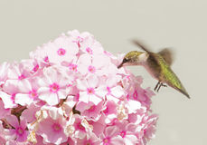 Juvenile male Hummingbird feeding on pink Phlox blooms Royalty Free Stock Photo