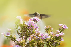 Juvenile male Hummingbird feeding on a pink Phlox flower Royalty Free Stock Images