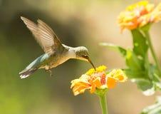 Juvenile male Hummingbird Stock Photography