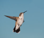 Juvenile male Hummingbird in flight Royalty Free Stock Photo