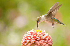 Juvenile male Hummingbird hovering Royalty Free Stock Photo