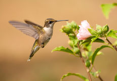 Juvenile male Hummingbird hovering Royalty Free Stock Photography