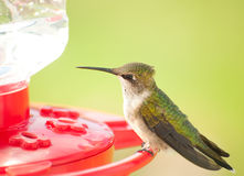 Juvenile male Hummingbird sitting on a feeder Stock Images