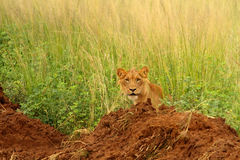 Juvenile male lion peers out from long grass. A juvenile male lion peers out from some long grass while hiding behind a pile of dirt in Murchison Falls National Royalty Free Stock Images