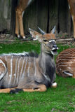 Juvenile male nyala Stock Photography