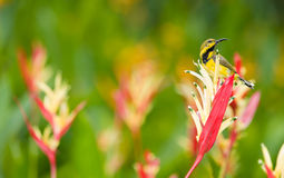 Juvenile Male Olive-backed Sunbird Stock Image