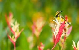 Juvenile Male Olive-backed Sunbird Stock Image