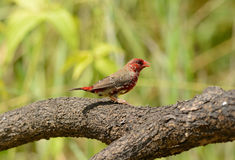 Juvenile male Red Avadavat Royalty Free Stock Image