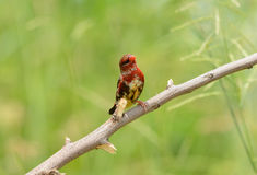 Juvenile male Red Avadavat Stock Images