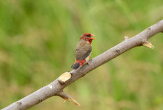 Juvenile male Red Avadavat Royalty Free Stock Photo