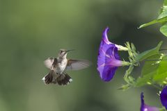 Hunting in the Morning Glory royalty free stock photography