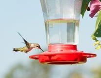 Juvenile male Ruby-throated Hummingbird Stock Photos