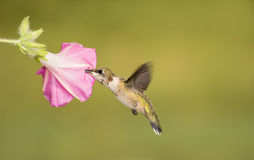 Juvenile male Ruby-throated Hummingbird feeding on a pink Morning Glory bloom Stock Photography