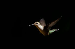 Juvenile male ruby-throated hummingbird Royalty Free Stock Photos