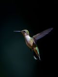 Juvenile male ruby-throated hummingbird Stock Photo