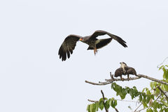 Juvenile Male Snail Kite in Flight with Female in Background. A juvenile male Snail Kite (Rostrhamus sociabilis) flies away after copulating with a female Royalty Free Stock Photography