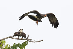 Juvenile Male Snail Kite in Flight with Female in Background. A juvenile male Snail Kite (Rostrhamus sociabilis) flies away after copulating with a female Stock Images