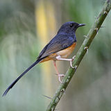Juvenile male White-rumped Shama. Beautiful song bird,  juvenile male White-rumped Shama (Copsychus malabaricus), standing on a branch, back profile Stock Photography