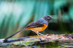 Juvenile male White-rumped Shama. Beautiful song bird, juvenile male White-rumped Shama (Copsychus malabaricus), standing on the log, side profile Stock Photo
