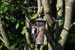 Juvenile male Woodpeckeron a peanut feeder. Royalty Free Stock Images