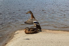 Juvenile mallard duck flapping its wings. Before leaving Royalty Free Stock Photo