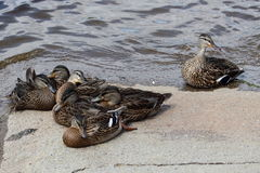 Juvenile mallard duck that rest up. Under the supervision of their mother Royalty Free Stock Images