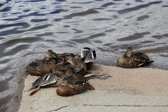 Juvenile mallard duck that rest up. Under the supervision of their mother Stock Photo
