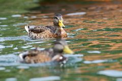Juvenile mallard duck swimming on water Royalty Free Stock Images