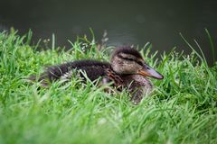 Juvenile Mallard or Wild Duck. On the shore in the green grass Royalty Free Stock Photos
