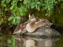 Juvenile Mallards. A couple of young Mallard ducks rest on a rock in the shade of an overhanging bush in a northern Wisconsin lake Stock Photography