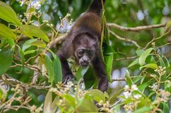 Juvenile Mantled howler in Tortuguero National Park, Costa Rica. Juvenile Mantled howlerAlouatta palliata, or golden-mantled howling monkey bridging between Stock Images