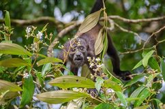 Juvenile Mantled howler in Tortuguero National Park, Costa Rica. Juvenile Mantled howlerAlouatta palliata, or golden-mantled howling monkey bridging between Stock Photo