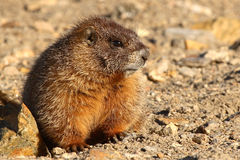 Juvenile Marmot Stock Photos