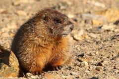 Juvenile Marmot. A portrait of a Juvenile Yellow-bellied Marmot Stock Photos