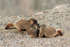Juvenile Marmots Playing in the Rocks on Mount Evans. Marmots are common in the Rocky Mountains and are very sociable animals. They are related to squirrels Royalty Free Stock Image