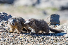 Juvenile Marmots Playing in the Rocks on Mount Evans. Marmots are common in the Rocky Mountains and are very sociable animals. They are related to squirrels Stock Image