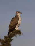 Juvenile Martial Eagle stock photos