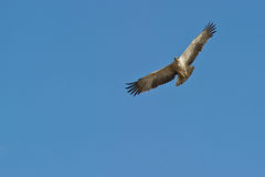 A juvenile Martial Eagle on flight Stock Images