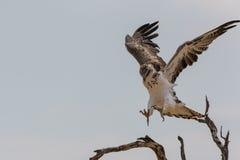 Juvenile Martial Eagle landing Stock Image