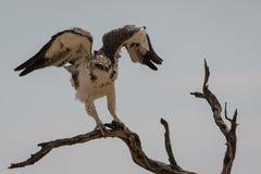 Juvenile Martial Eagle landing Royalty Free Stock Photos