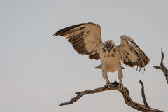 Juvenile Martial Eagle landing Stock Images