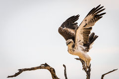 Juvenile Martial Eagle landing. On tree Kgalagadi Transfrontier Park Royalty Free Stock Photography