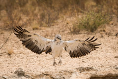 Juvenile Martial Eagle landing Royalty Free Stock Images