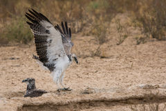 Juvenile Martial Eagle landing Royalty Free Stock Photo