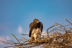 Juvenile martial eagle, Polemaetus bellicosus, a vulnerable species, perched on branches of budding acacia tree with blue sky bac. Kground in Kenya stock images