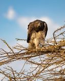 Juvenile martial eagle, Polemaetus bellicosus, a vulnerable species, perched on branches of budding acacia tree with blue sky bac. Kground in northern Kenya royalty free stock photo