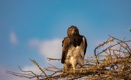 Juvenile martial eagle, Polemaetus bellicosus, a vulnerable species, perched on branches of budding acacia tree with blue sky bac. Kground in northern Kenya stock photo