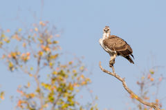 Juvenile Martial Eagle at Treetop. A juvenile Martial Eagle Polemaetus bellicosus perches to overlook the savanna of Kruger National Park in South Africa royalty free stock photos