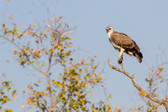Juvenile Martial Eagle at Treetop. A juvenile Martial Eagle Polemaetus bellicosus perches to overlook the savanna of Kruger National Park in South Africa stock photography